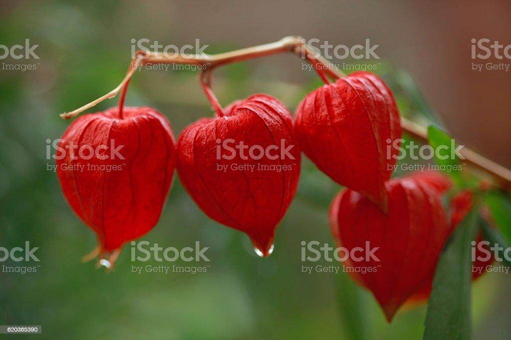 Czerwony jesień kwiatów zbiór zdjęć royalty-free