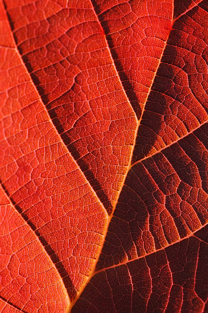Red autumn leaf close-up stock photo