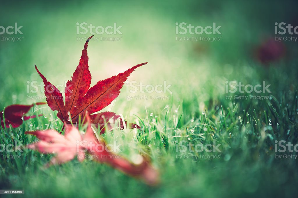 Red Autumn Leaf Lying In The Grass - Royalty-free 2015 Stock Photo