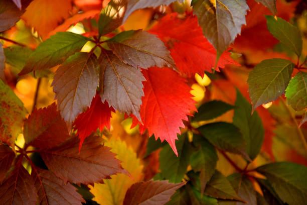 Feuille rouge d'automne. - Photo
