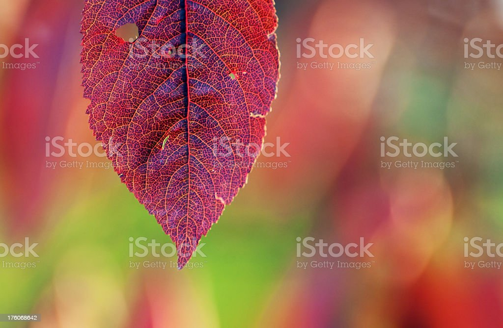 Red autumn leaf royalty-free stock photo