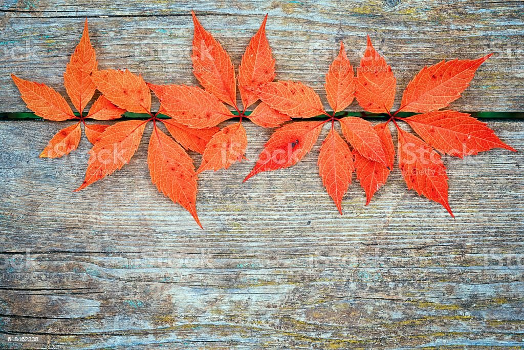 Red autumn leafage of wild grape on wooden table stock photo