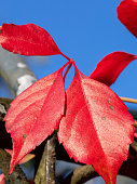 Red autumn leaves of quinquefolia climbing plant with blue sky background