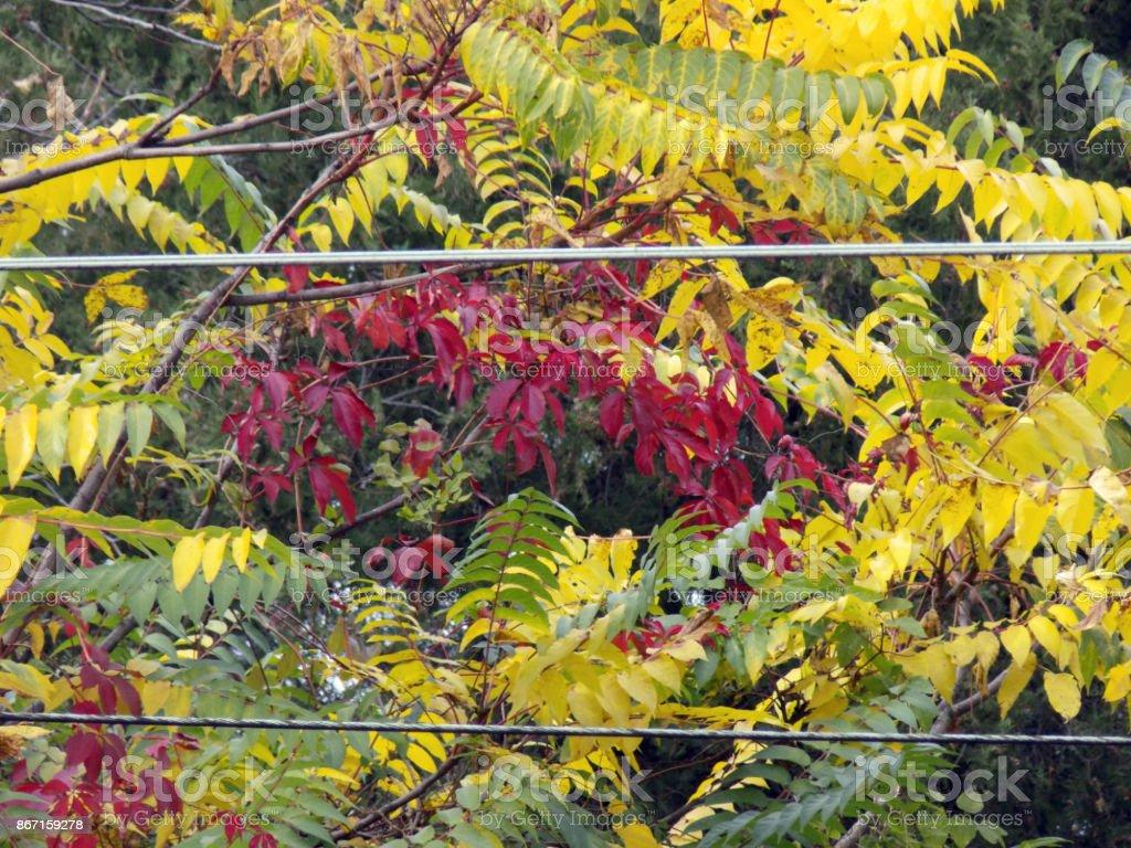 Roten Herbstlaub von wildem Wein Klettern auf der Baumkrone Baum des Himmels – Foto
