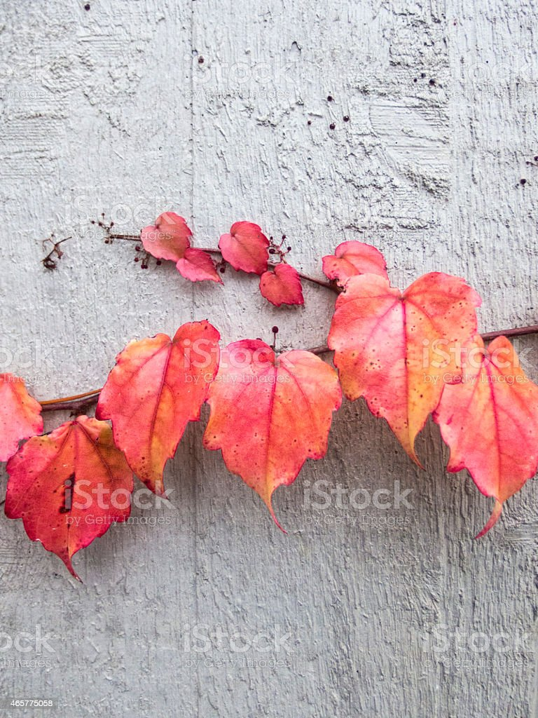 red autumn leaves on a wall stock photo