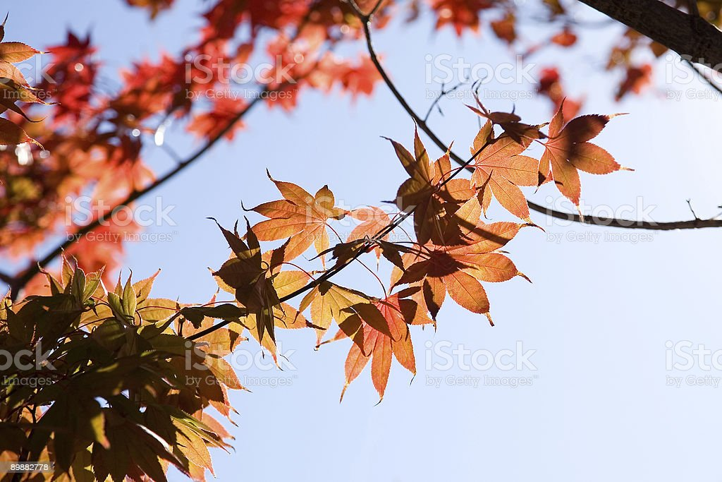 Roter Herbst Blätter auf Baum 2 Lizenzfreies stock-foto