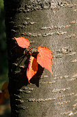 A few leaves growing directly from the trunk of a cherry tree are quick to turn to their autumn colour of red / orange.