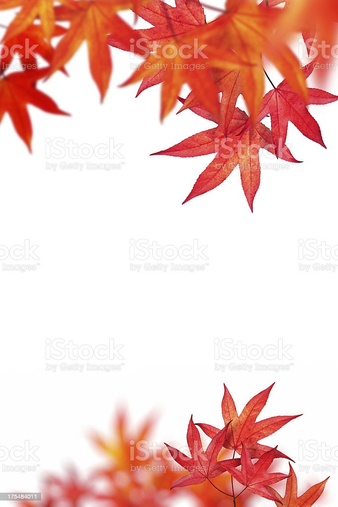 Red Autumn Leaves On White Background royalty-free stock photo