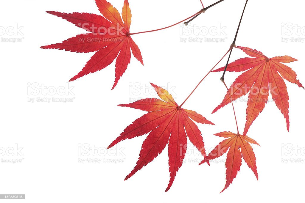 Red autumn leaves royalty-free stock photo