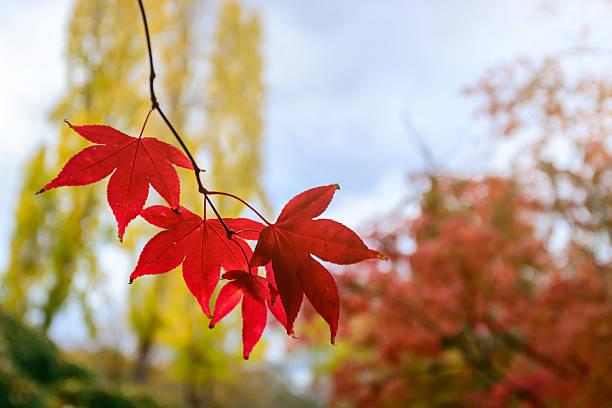feuilles d'automne rouge - arbre à feuilles caduques photos et images de collection