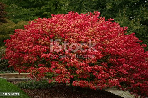 A deciduous shrub called