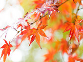 Red maple leaves in autumn.
