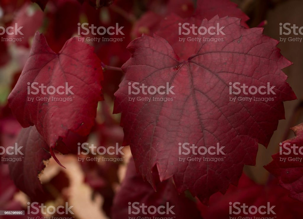red autumn leaves still on the vine zbiór zdjęć royalty-free
