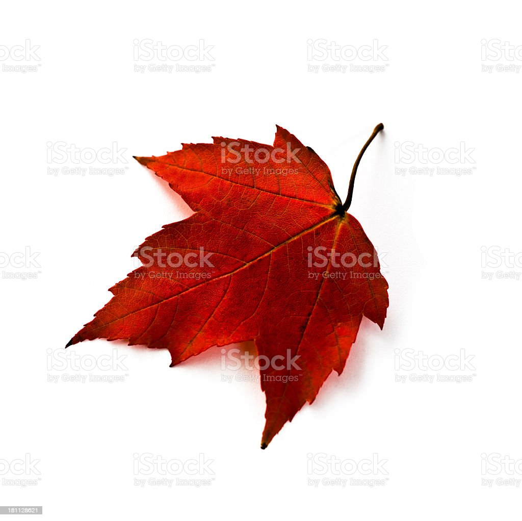 Red autumn Maple leaf isolated on white background royalty-free stock photo