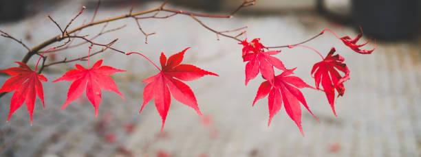 Red autumn maple leaves beautiful urban background of fall season picture id1166563445?b=1&k=6&m=1166563445&s=612x612&w=0&h=o0guan5a8j4 mmnksa7f1votpeg2zrvxqvkidsvwyia=