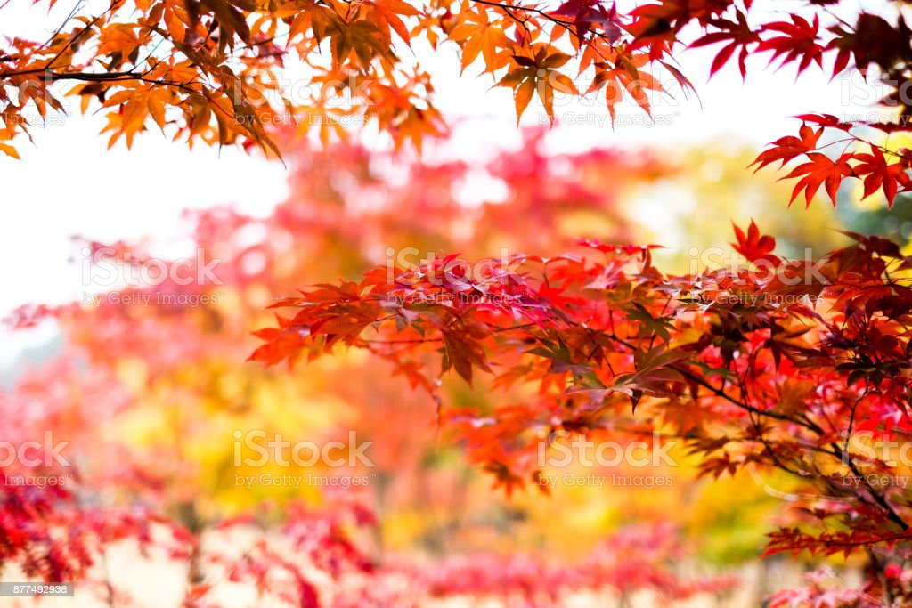 Red Autumn Maple Tree Leaves Colorful Maple Trees Red Autumn Leaves Season In Autumn Park Japan Autumn Season Stock Photo Download Image Now Istock