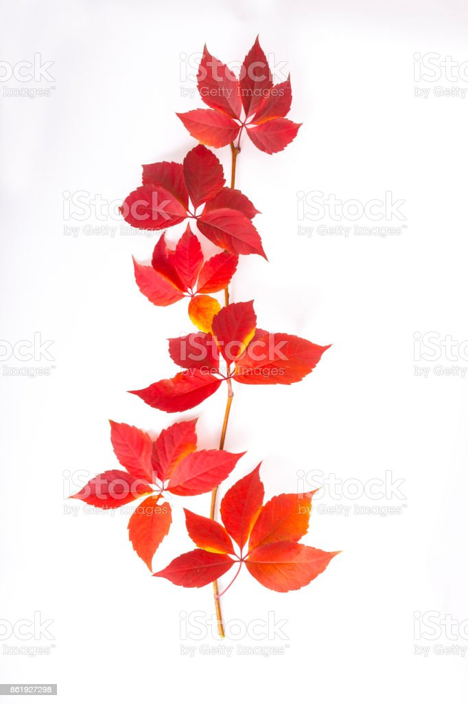 Red Autumn Maples Leaves stock photo