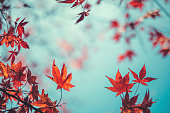 Autumn background with red maple leaves.
