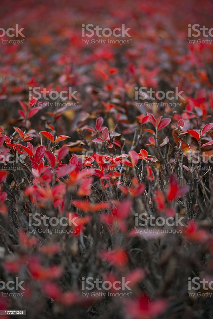 Red autumnal leaves on hedgerow royalty-free stock photo