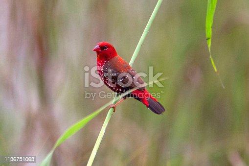 Red avadavat, red munia or strawberry finch, Amandava amandava, Male, Vasai, Mumbai, Maharashtra, India