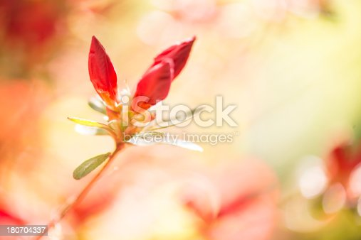 Horizontal image of red azalea flower buds. More flowers: