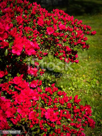 Vibrant colorful Azalea blossoming in the meadow garden