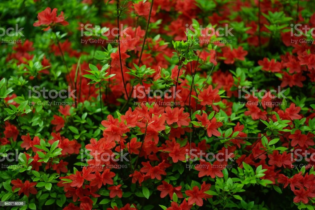 Red azalea in a park of Tokyo stock photo