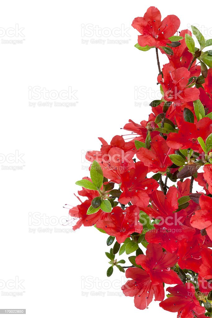 Red Azalea stock photo