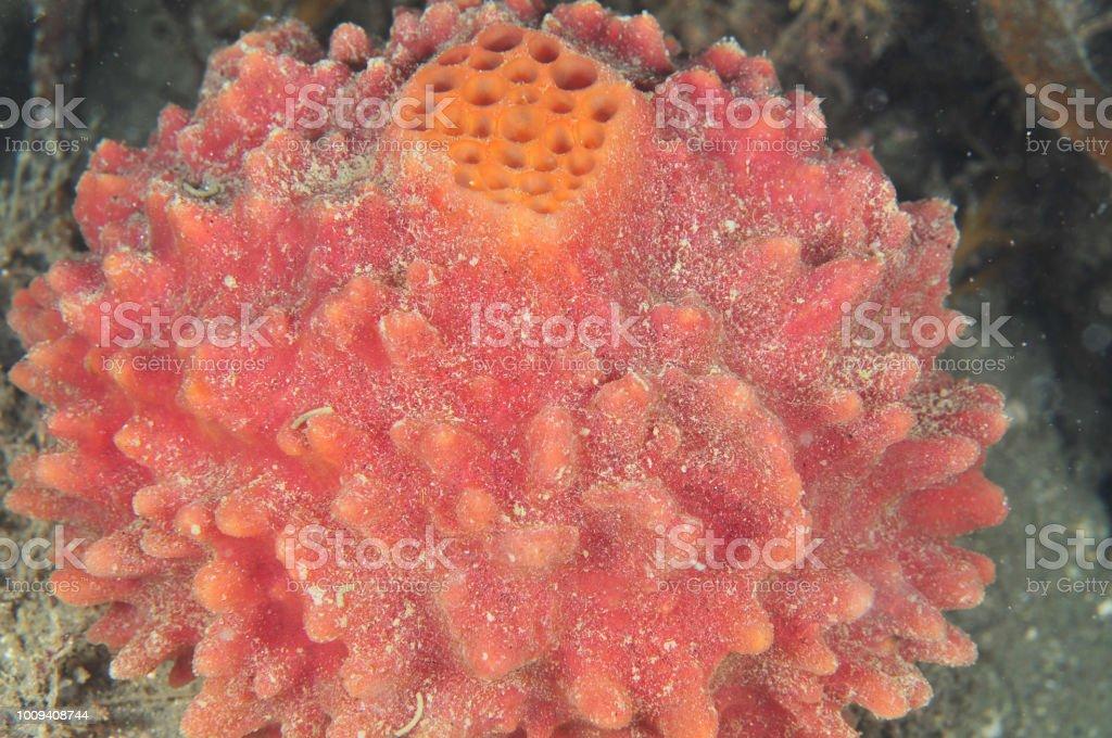 Osculum mostrando de esponja bola roja - foto de stock