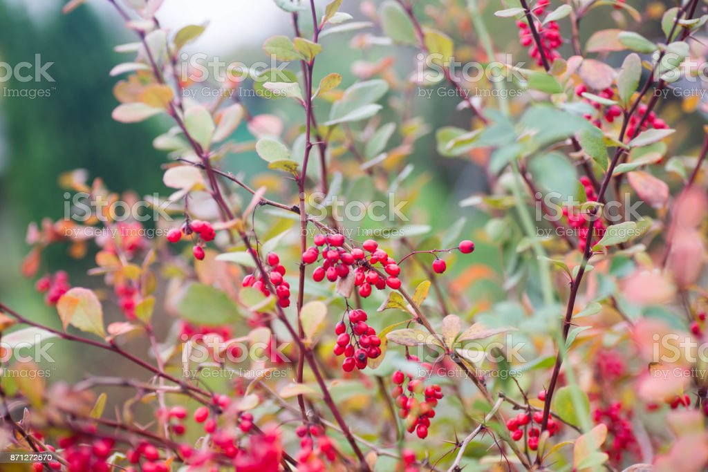 red barberry berries on twig closeup stock photo