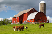Hereford beef cattle graze with a bright, red barn behind.