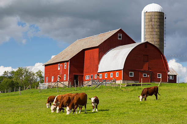 Red Barn and Grazing Cattle stock photo