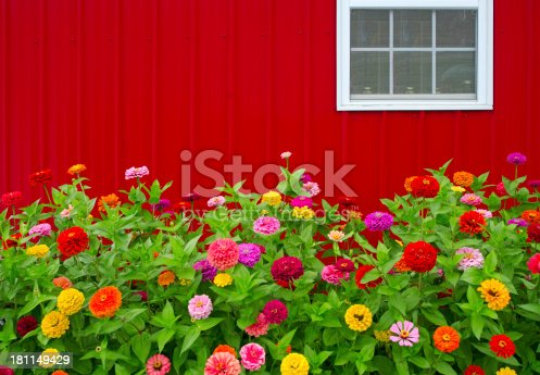 Colorful Zinnias grow in front of a bright red barn. Perfect image for Summer or Fall project. Copy Space at top left of image.