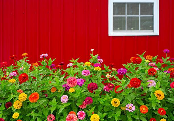 Red Barn and Zinnias stock photo