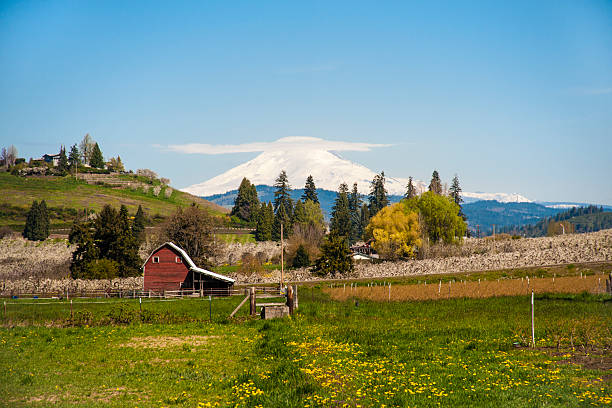 "Red barn, apple orchards, Mt. Adams ""Red barn among apple orchards in Hood River Valley, OR"" hood river valley stock pictures, royalty-free photos & images"