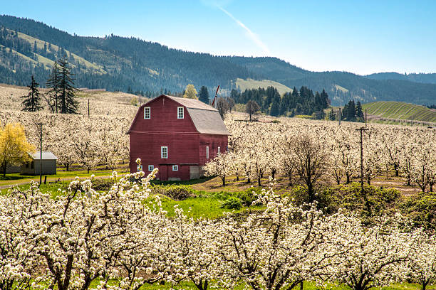 "Red barn, apple orchards ""Red barn among apple orchards in Hood River Valley, OR"" hood river valley stock pictures, royalty-free photos & images"