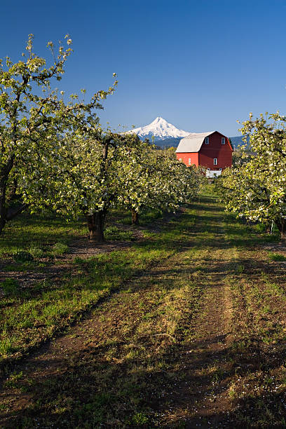 Red Barn in Apple Orchard Red Barn and Mount Hood in Apple Orchard on a clear blue morning hood river valley stock pictures, royalty-free photos & images