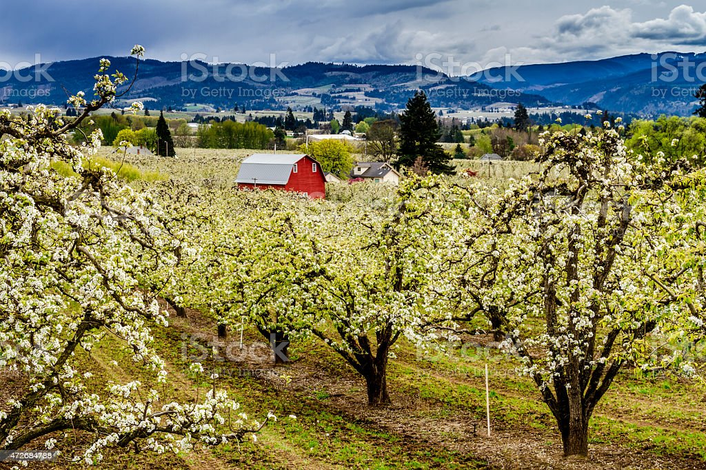 Red Barn in Oregon Pear Orchards stock photo