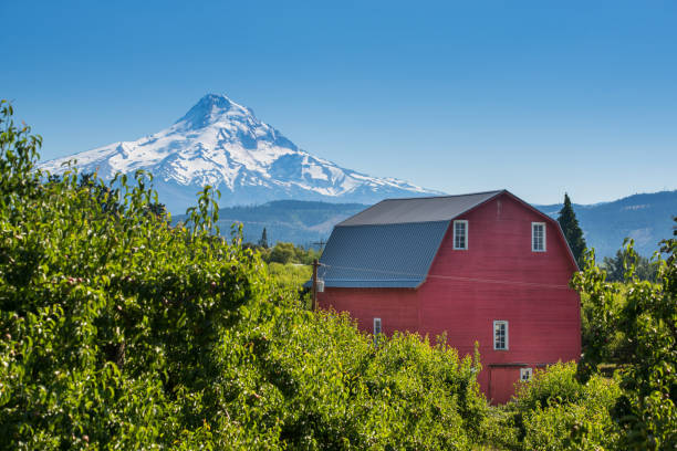 Red Barn in Pear Orchard, Oregon Farm, Field, Mountain, Mt Hood, Oregon - US State hood river valley stock pictures, royalty-free photos & images