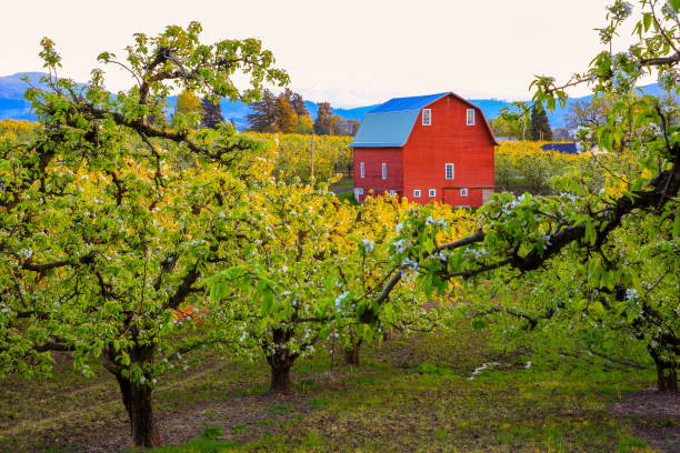 Red Barn in Pear Orchard, Oregon-USA Hood River Valley, Oregon State, USA - April 10 2016 : Pear tree blooming and View of barn and Mount Hood from pear orchard in Hood River Valley. hood river valley stock pictures, royalty-free photos & images