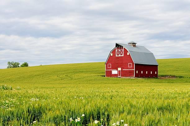 Red Barn in Wheatfield stock photo