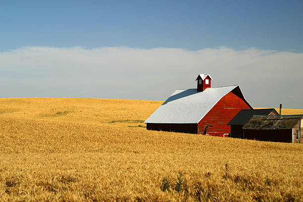 Red barn in yellow wheat field stock photo