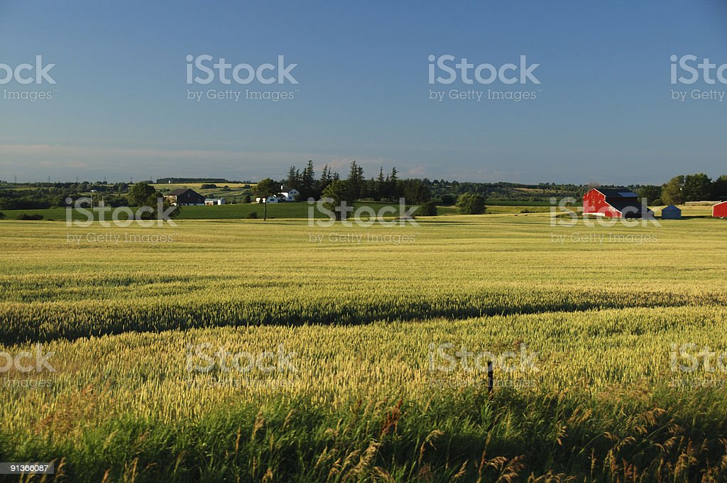 Red barns in an Ontario wheat field royalty-free stock photo