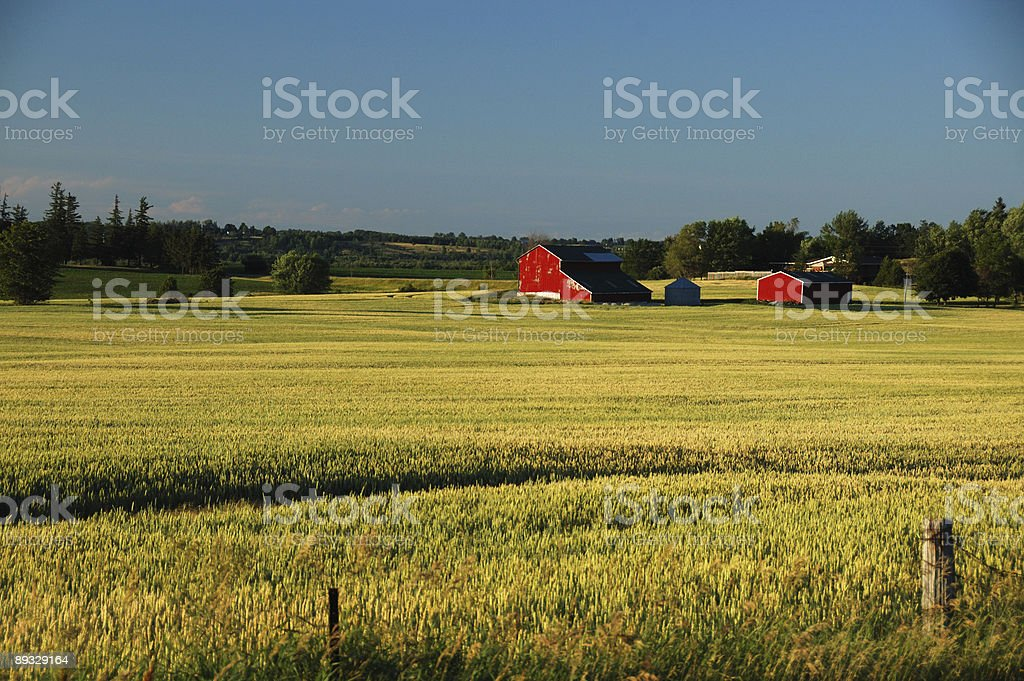 Red barns in summer setting sun stock photo