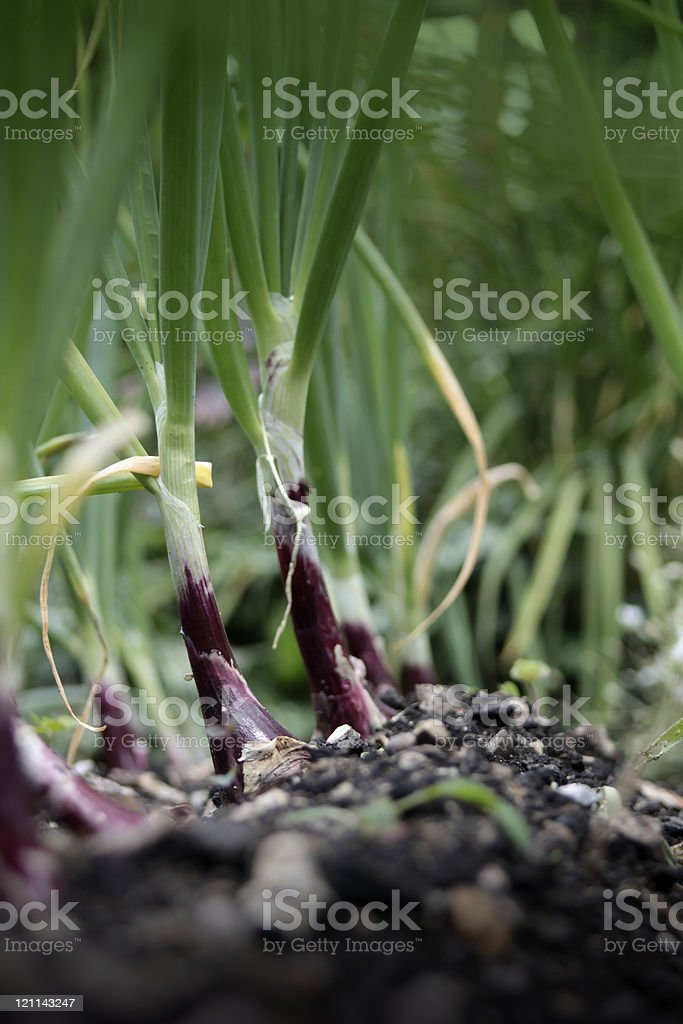Red Baron Onions stock photo