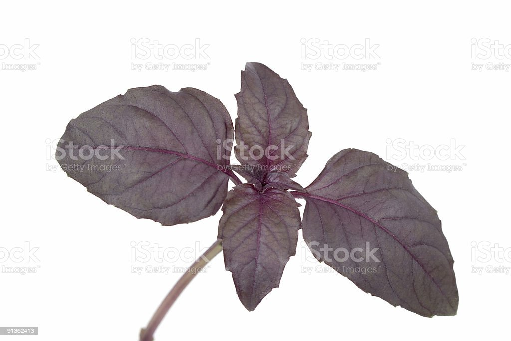 red basil royalty-free stock photo