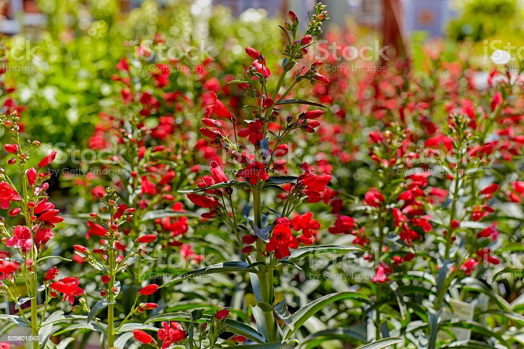 Red Beard Tongue Flowers in a Garden stock photo