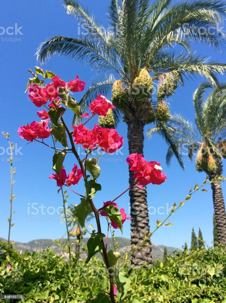 Red beautiful flowers on the background of the sky and palm trees stock photo