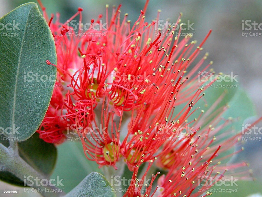 Red Beauty flower royalty-free stock photo
