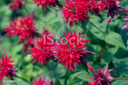 Red Bee Balm in full bloom in a garden.  Bee Balm is a perennial flower that blooms in late summer.   Bee Balm (Monardo or Bergamot) attracts both Hummingbirds and Butterflies.